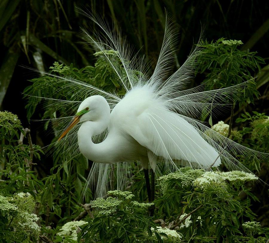 Great White Heron Paintings