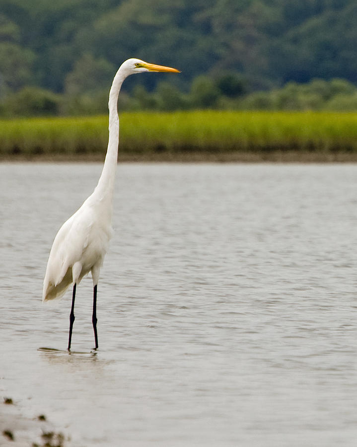 Large Standing Cranes Stencil: White Egret Photograph By William Haney