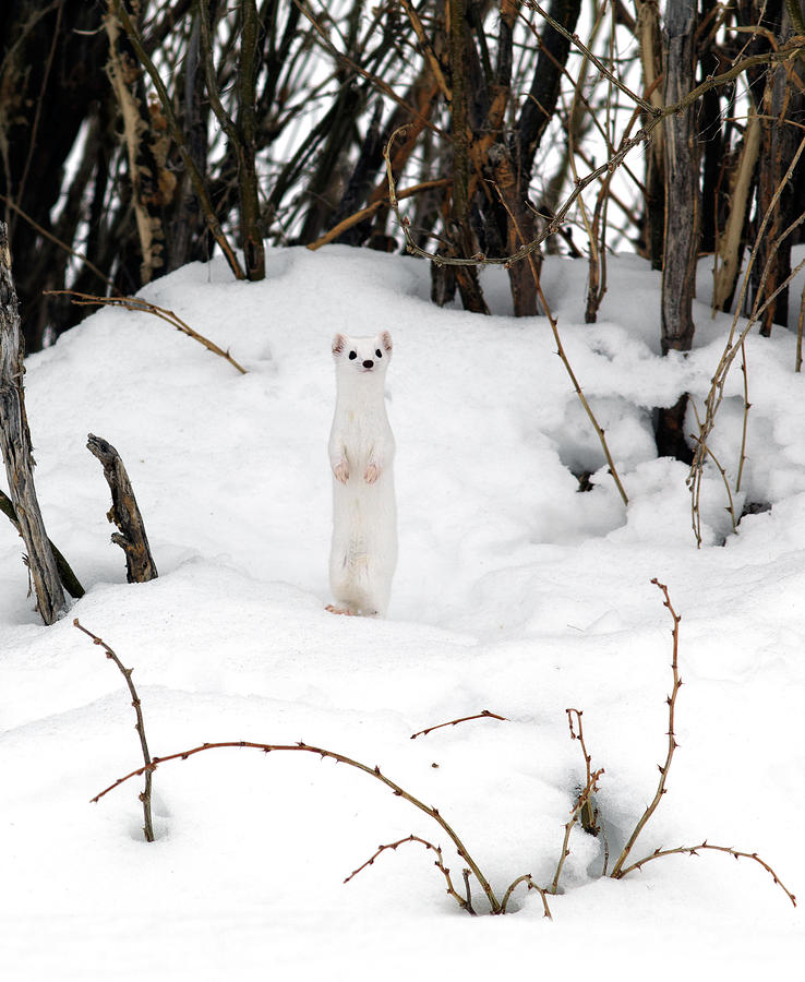 White Weasel Photograph - White Ermine by Leland D Howard