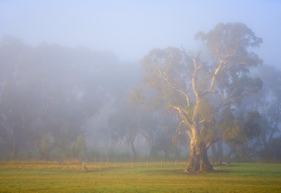 Tree Photograph - White Gum Morning by Mike  Dawson