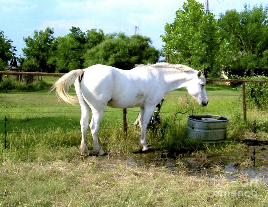 White Horse Named Ivanhoe Photograph