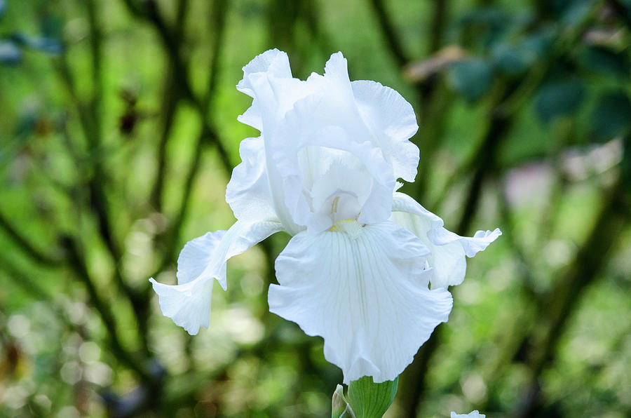 white iris bloom 3 photograph by roger buss. Black Bedroom Furniture Sets. Home Design Ideas