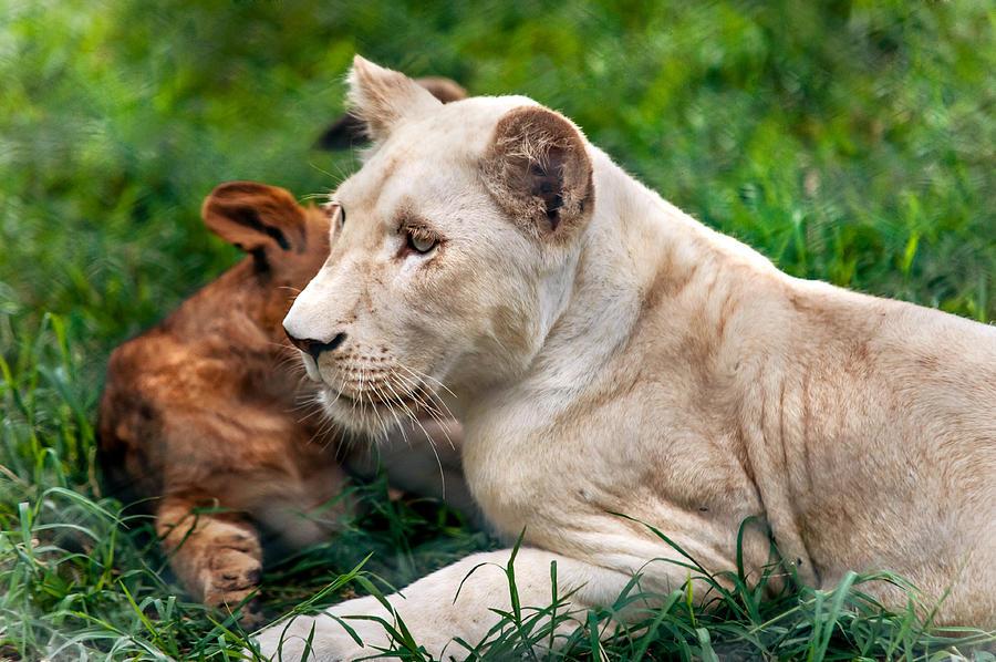 Lion Photograph - White Lion Cub by Jenny Rainbow