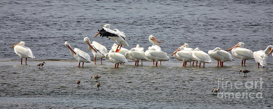 White Pelicans Panorama Photograph