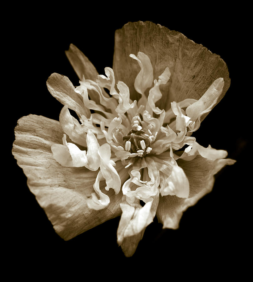 White Peony Flowered Opium Poppy Photograph