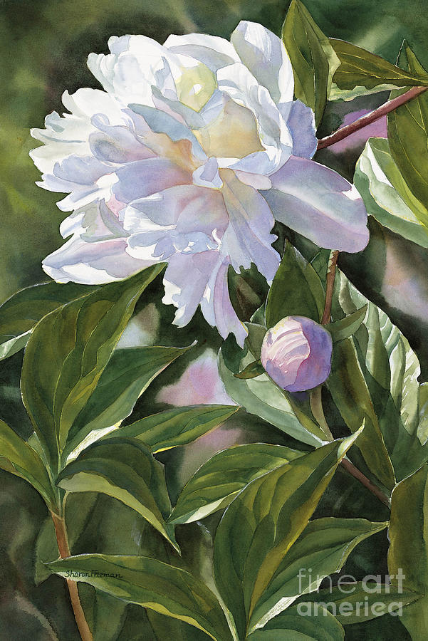 White Peony With Bud Painting by Sharon Freeman