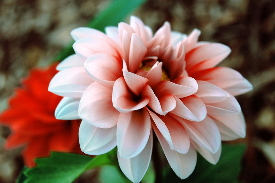 White Red Flower Photograph