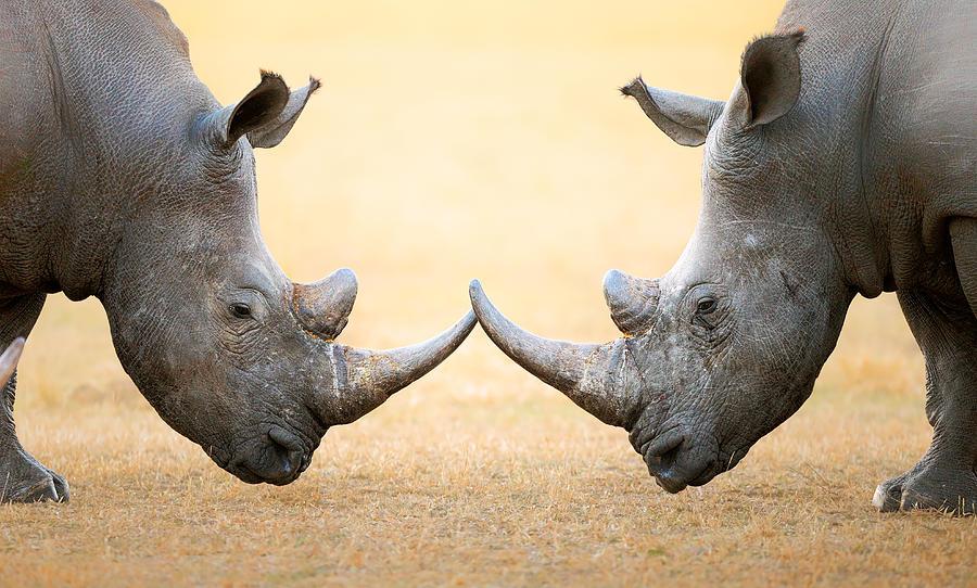 Rhinoceros Photograph - White Rhinoceros  Head To Head by Johan Swanepoel