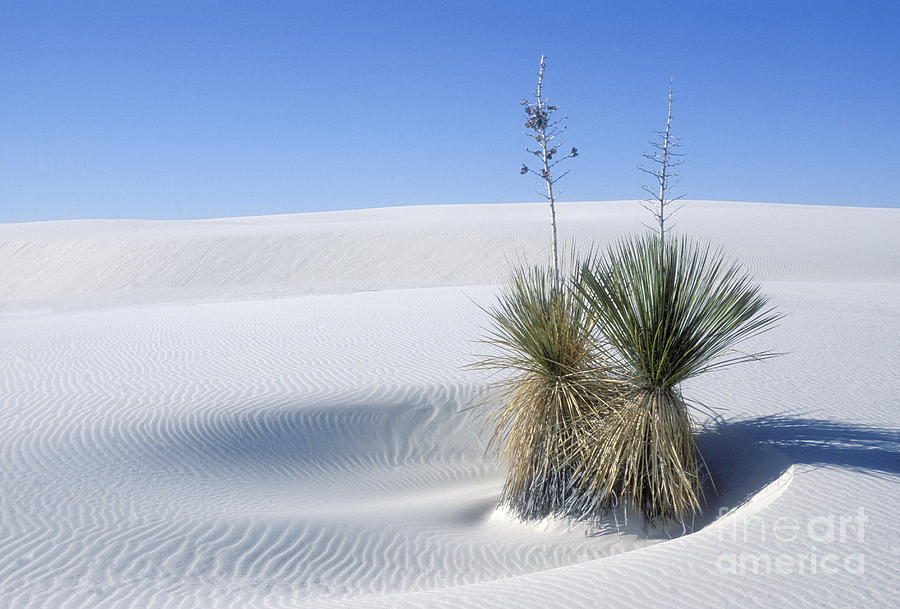White Sands Photograph - White Sands Dune And Yuccas by Sandra Bronstein