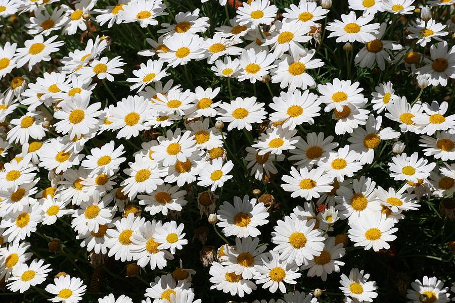 White Summer Daisies Photograph