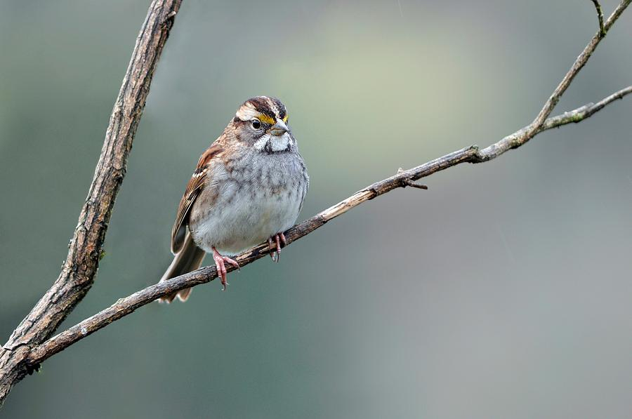White Throated Sparrow Photograph - White Throated Sparrow by Laura Mountainspring