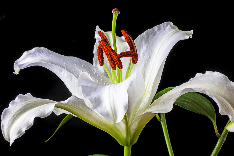 White Tiger Lily Photograph - White Tiger Lily Still Life by Garry Gay