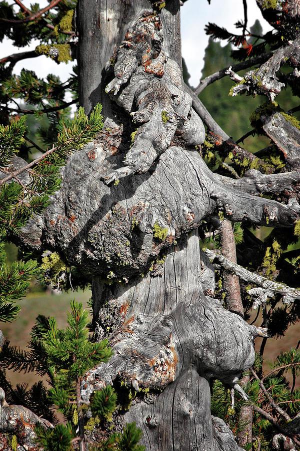 Pines Photograph - Whitebark Pine Tree - Iconic Endangered Keystone Species by Christine Till