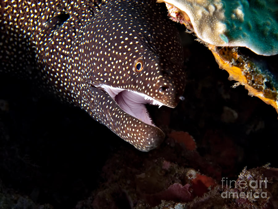 Gymnothorax Meleagris Photograph - Whitemouth Moray Eel by Joerg Lingnau