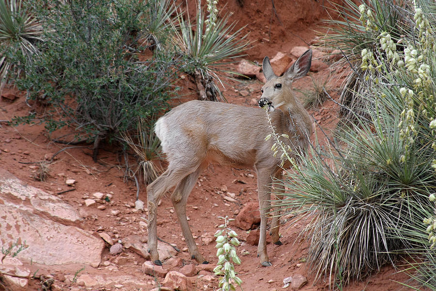 Deers Photograph - Wild And Pretty - Garden Of The Gods Colorado Springs by Christine Till