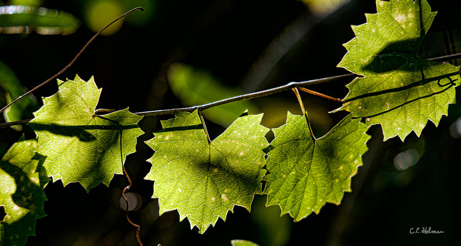 Grape Photograph - Wild Grape Leaves by Christopher Holmes