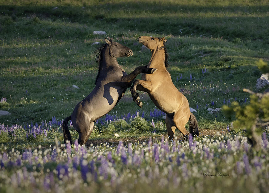 Beautiful Photos Photograph - Wild Mustangs Playing 1 by Roger Snyder