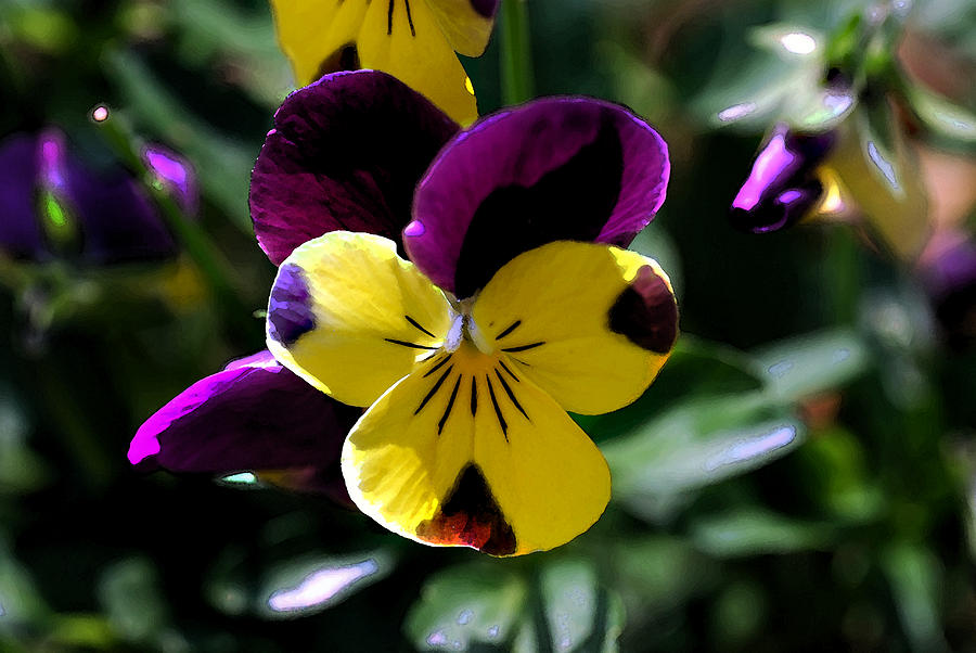 Orchid Photograph - Wild Pansy by Don  Wright