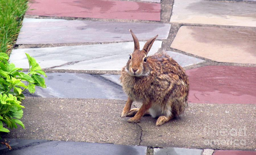 Wild Backyard Rabbits : Rabbit Photograph  Backyard Wild Rabbit Coming Back Home by Anthony