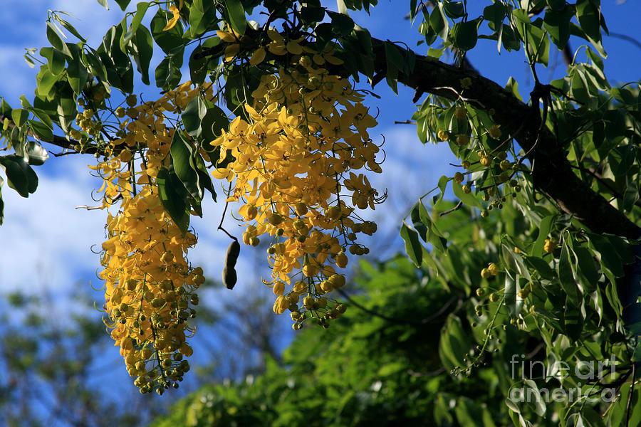 Wilhelmina Tenney Rainbow Shower Tree Makawao Maui Flowering Trees Of Hawaii Photograph