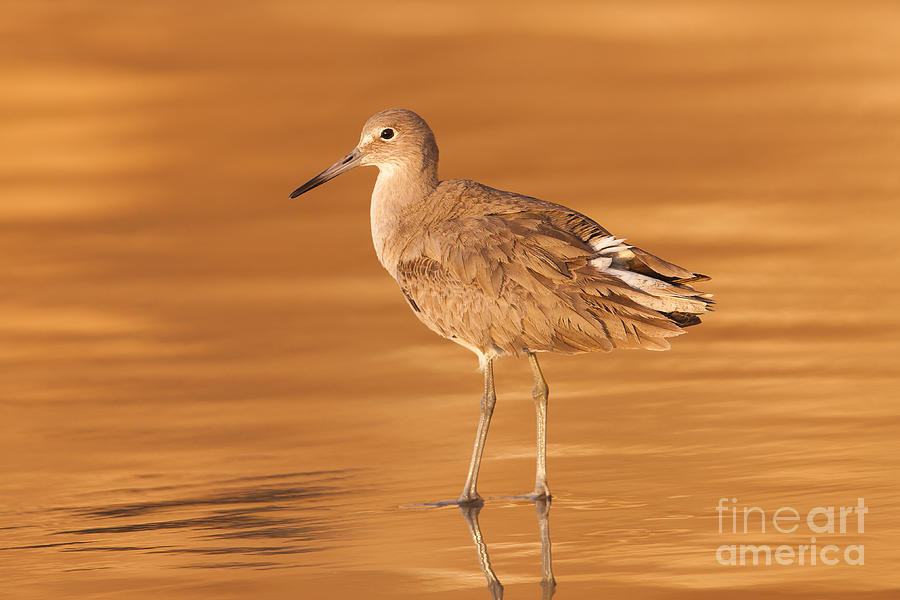Clarence Holmes Photograph - Willet by Clarence Holmes