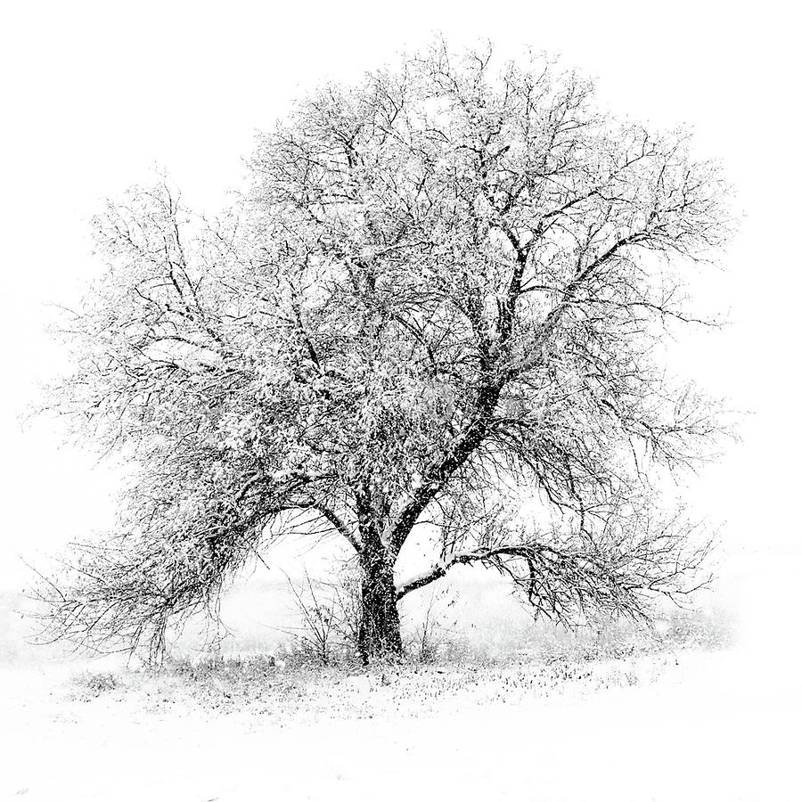 Square Photograph - Willow And Blizzard by Altus Photo Design