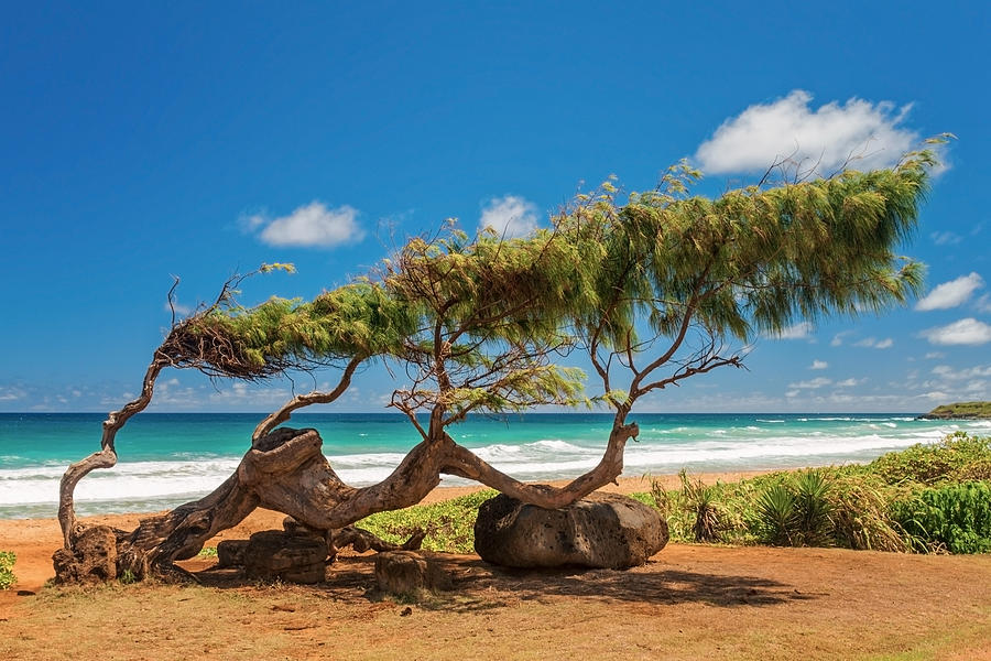 Wind Blown Tree Kapaa Kauai Hawaii Hi Photograph - Wind Blown Tree by Brian Harig