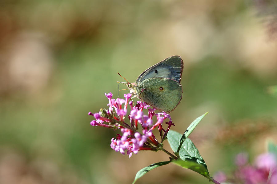 Butterfly Photograph - Wings And Petals by Betty LaRue