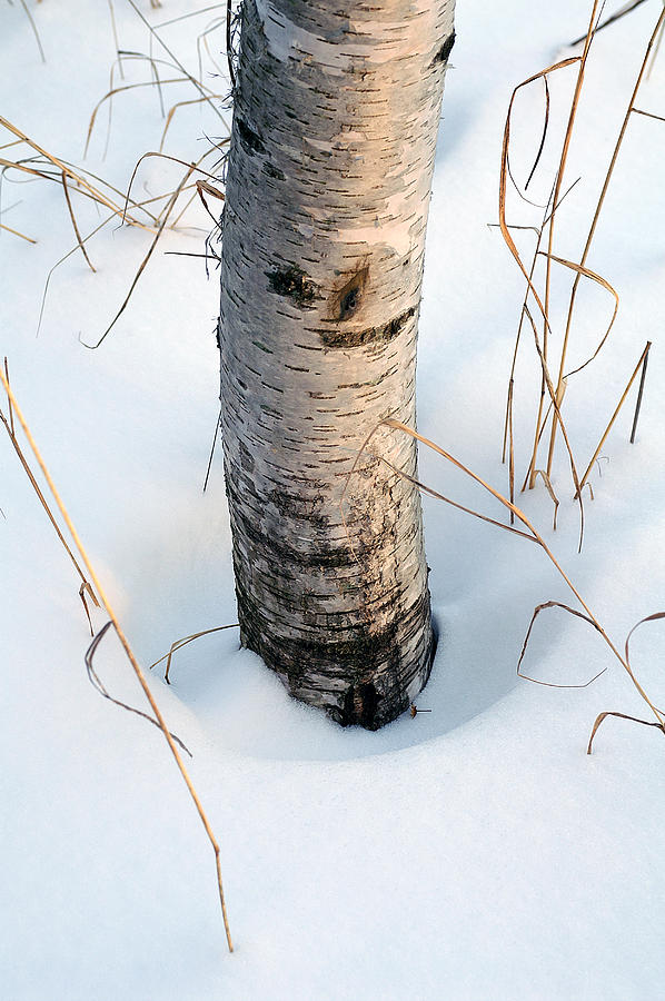 Birch Photograph - Winter Birch by Bill Morgenstern