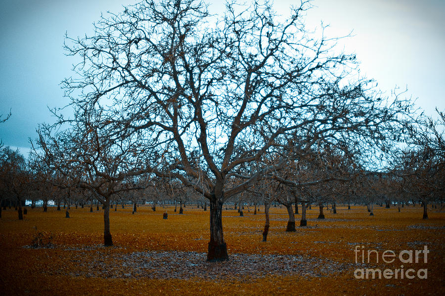 Winter Orchard Photograph