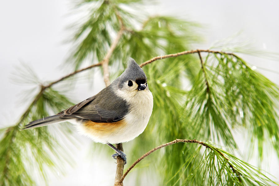 Bird Photograph - Winter Pine Bird by Christina Rollo