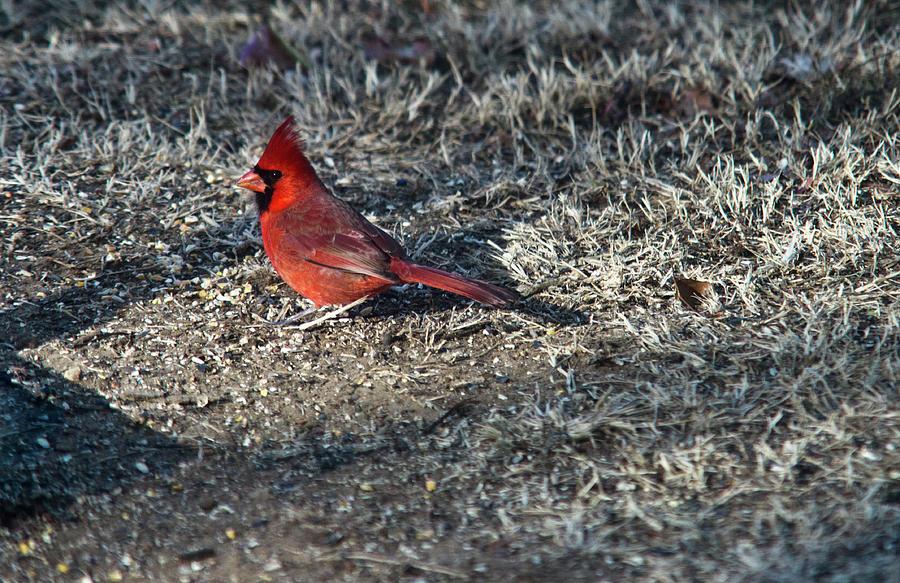 Arkansas Photograph - Winter Redbird by Douglas Barnett