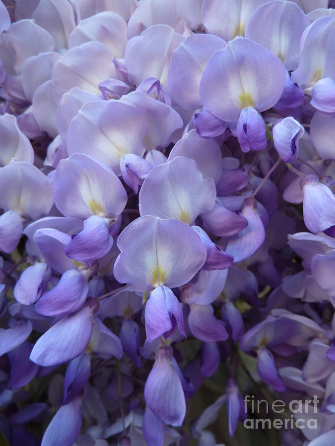 Photograph Photograph - Wisteria by Susan Moss