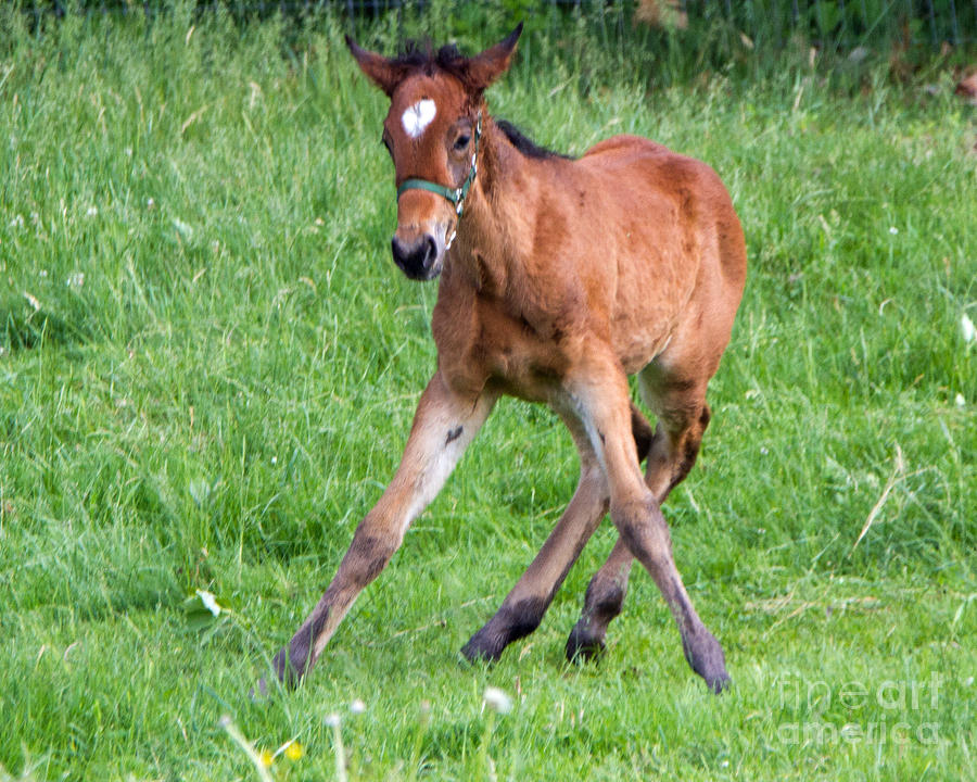 http://images.fineartamerica.com/images/artworkimages/mediumlarge/1/wobbly-legged-foal-lloyd-alexander.jpg
