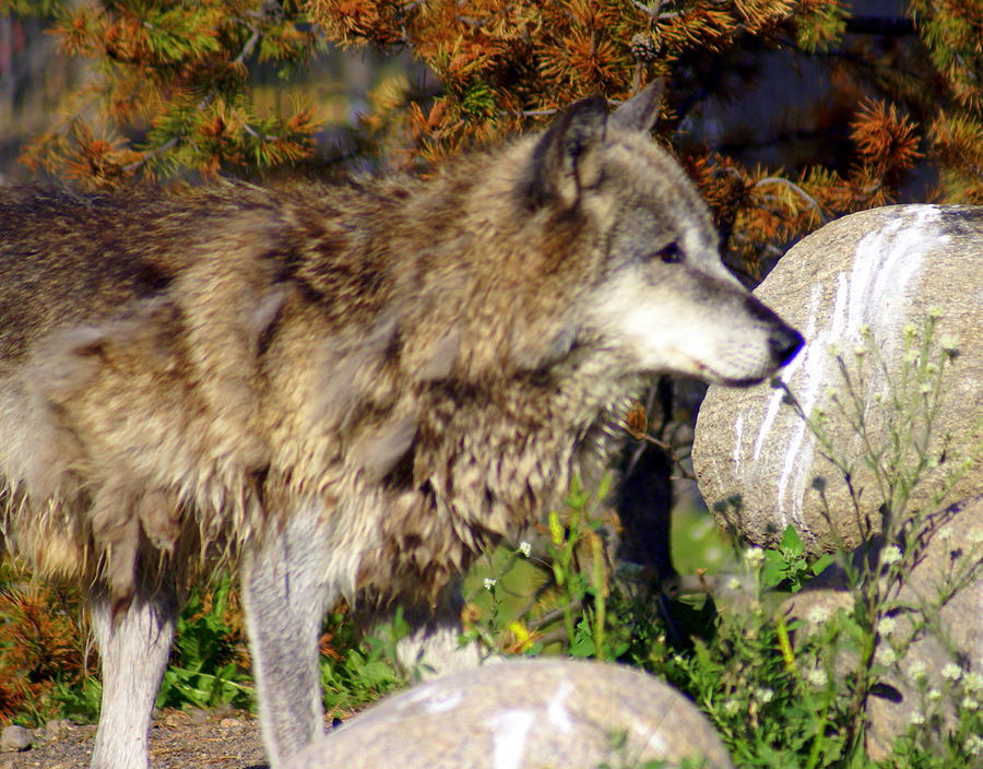 Wolf Photograph - Wolf On Patorl by Marty Koch
