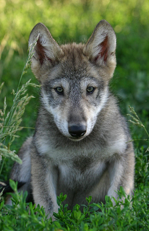 Wolf pup by shari jardina for Jardina