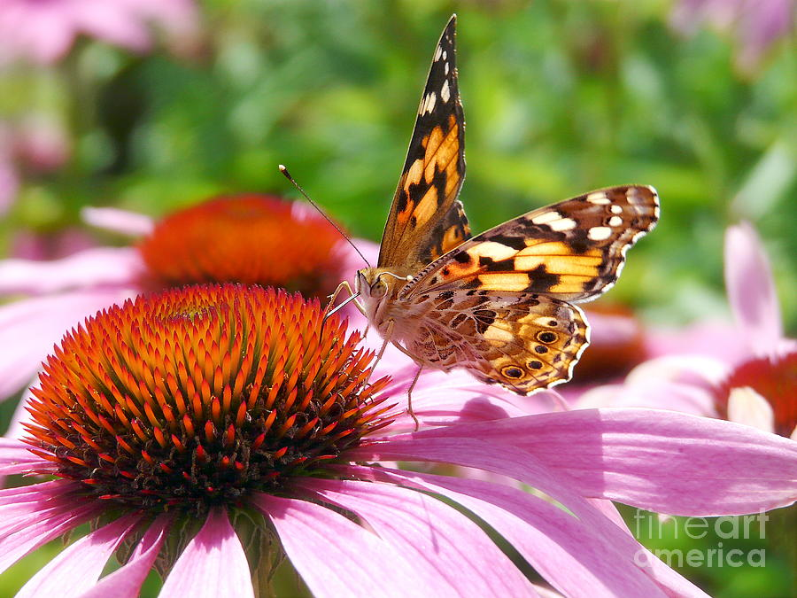 Echinacea Photograph - Butterfly by Angela Doelling AD DESIGN Photo and PhotoArt