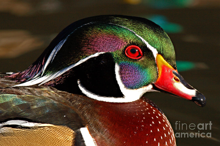 Wood Duck Photograph - Wood Duck Courtship Colors by Max Allen