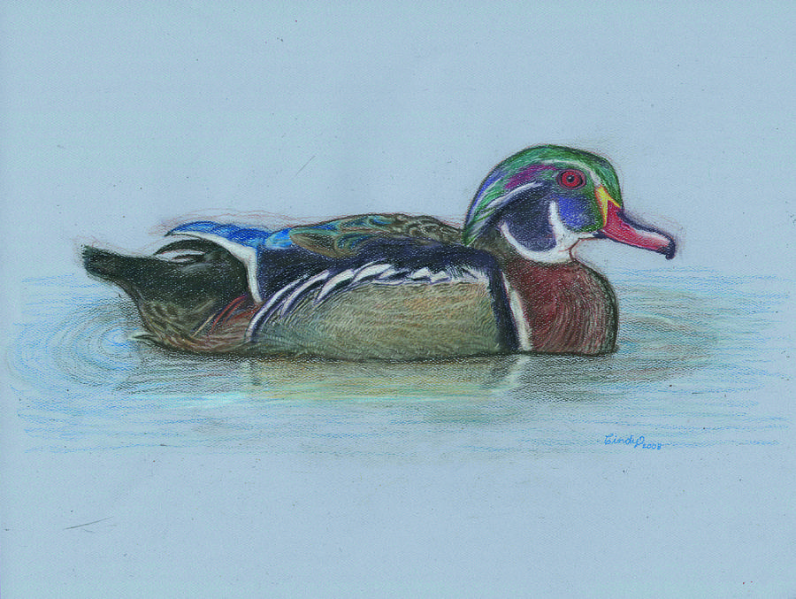 Wood Drawing - Wood Duck by Cynthia  Lanka