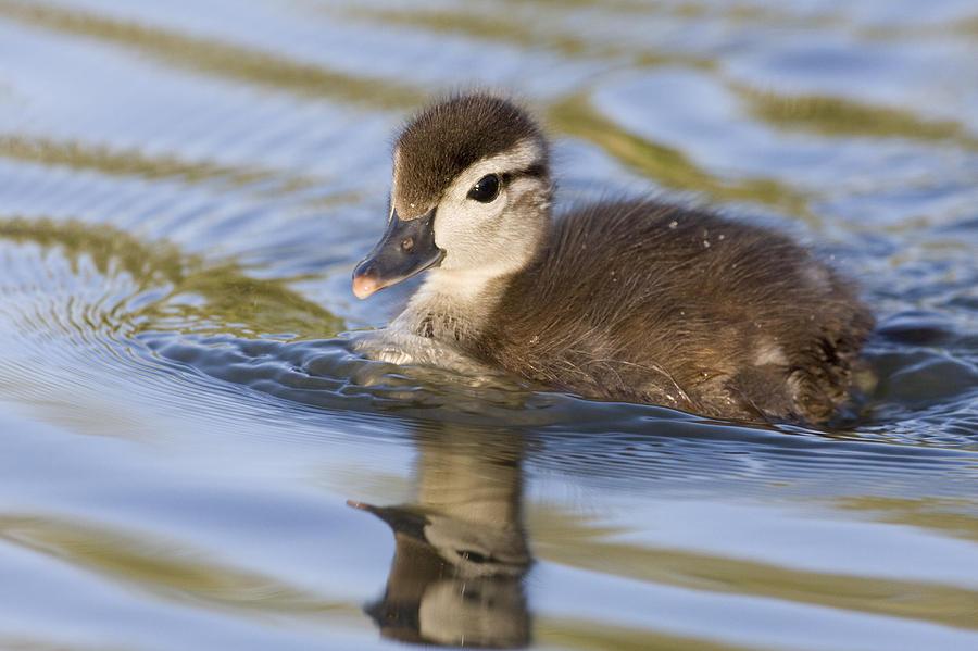 00439314 Photograph - Wood Duck Duckling Swimming Santa Cruz by Sebastian Kennerknecht