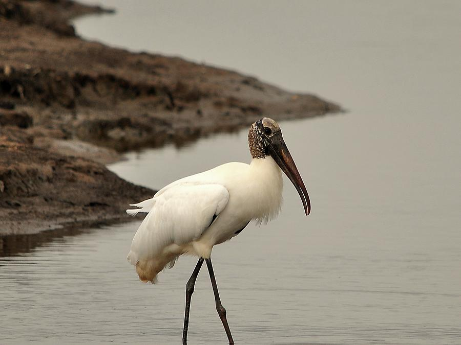 Wood Stork Photograph - Wood Stork Walking by Al Powell Photography USA