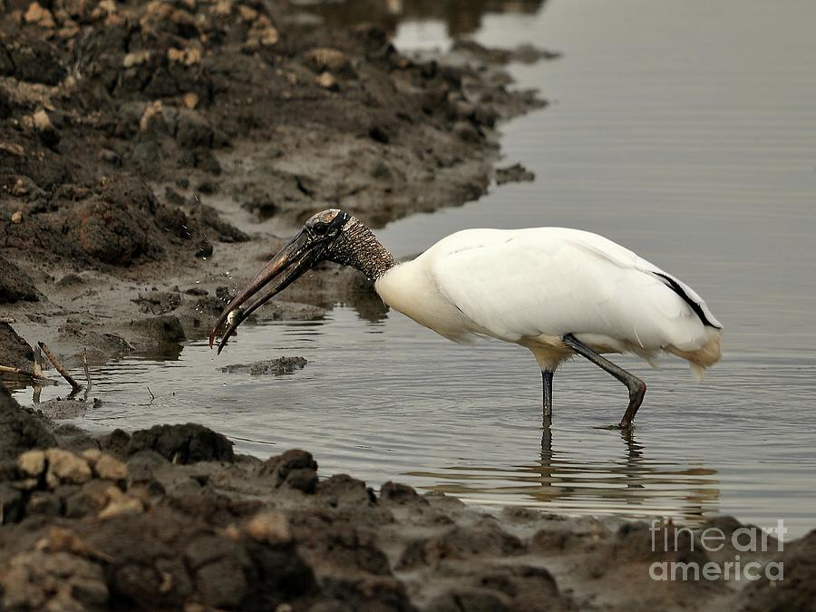 Wood Stork With Fish Photograph
