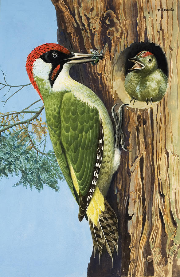 Woodpecker Painting - Woodpecker by RB Davis