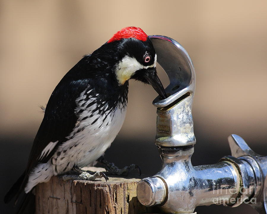 Bird Photograph - Woody And The Water Fountain by Wingsdomain Art and Photography