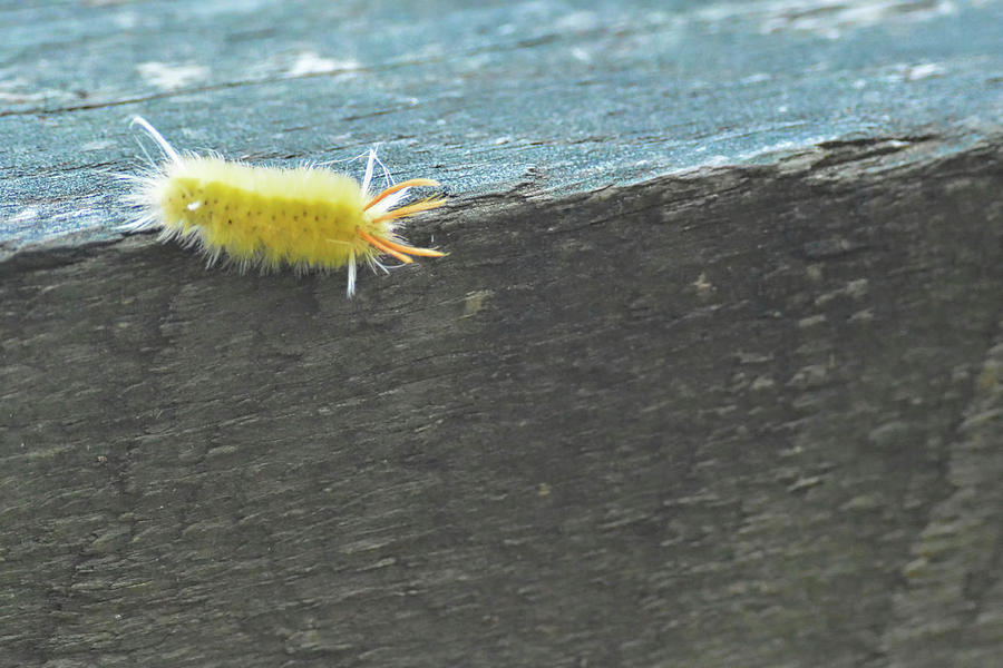 Wooly Worm In Shiloh, Tn Photograph