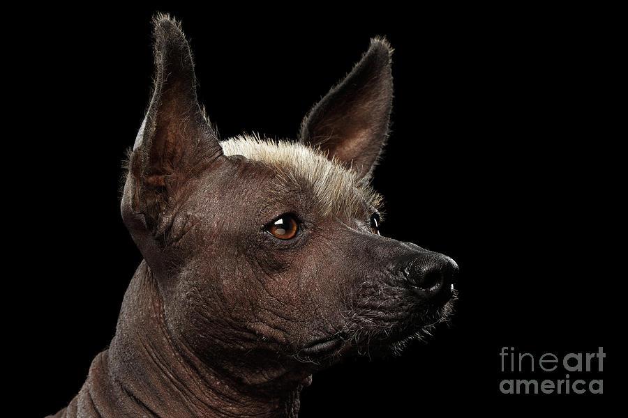 Xoloitzcuintle - Hairl...