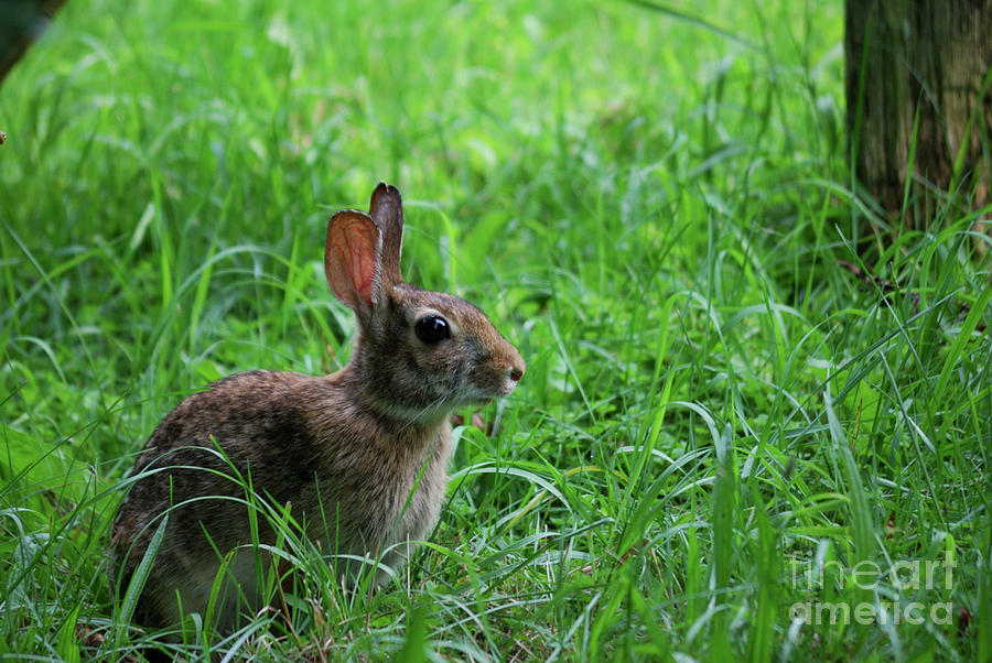 Wildlife Photograph - Yard Bunny by Randy Bodkins