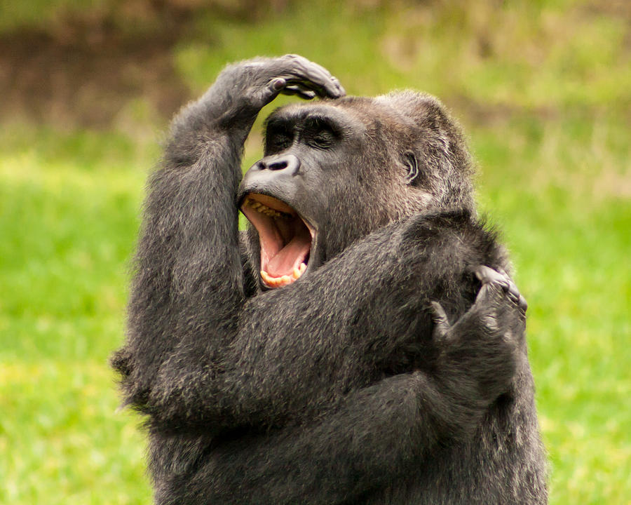 Yawning Gorilla Photograph by Richard Balison