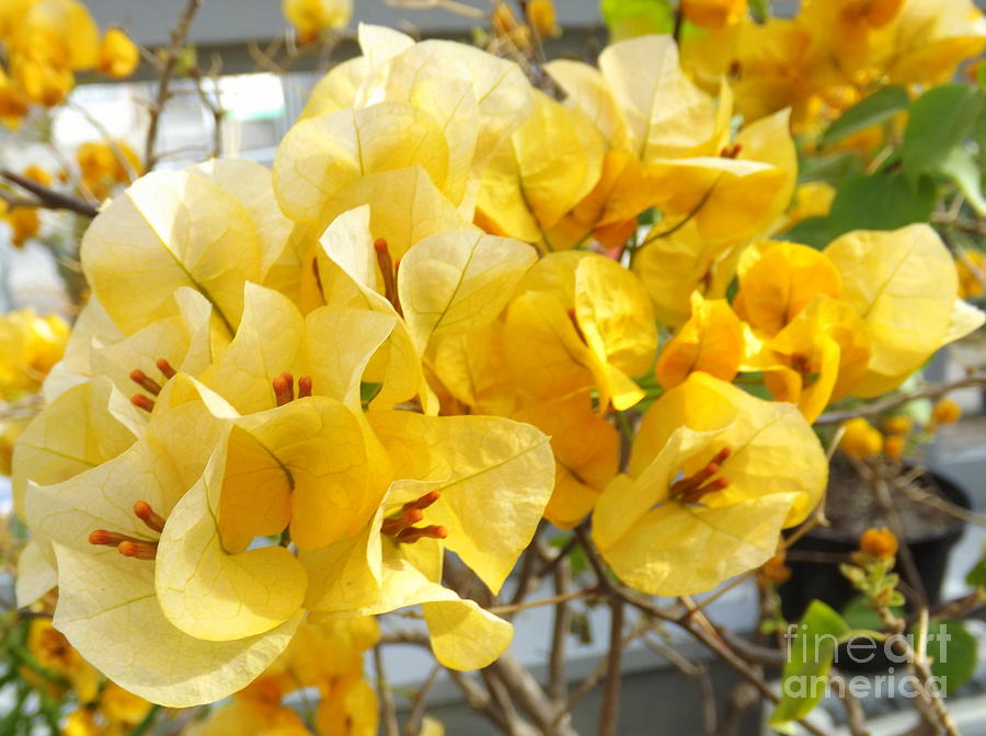 yellow bougainvillea photograph by lingfai leung