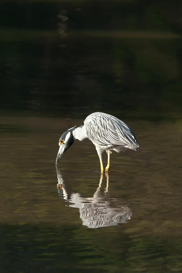 Yellow Crowned Night Heron Kiss The Water #1 Photograph